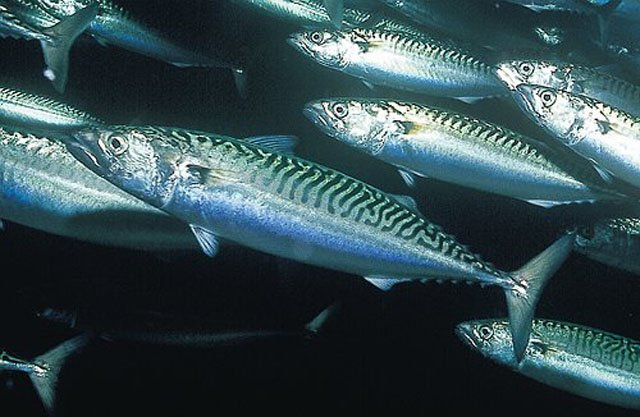 mackerel_photo by .