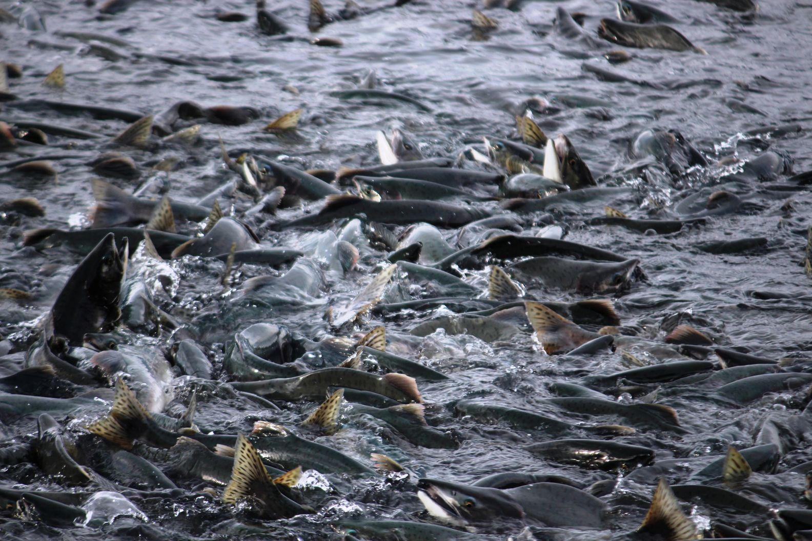 22 water-wildlife-fish-salmon-alaska-pollution-valdez-salmon-migration- by .